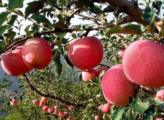【乐虎直播苹果官方版】农业部长:乐虎体育搭配化肥,未来施肥的大趋势!
